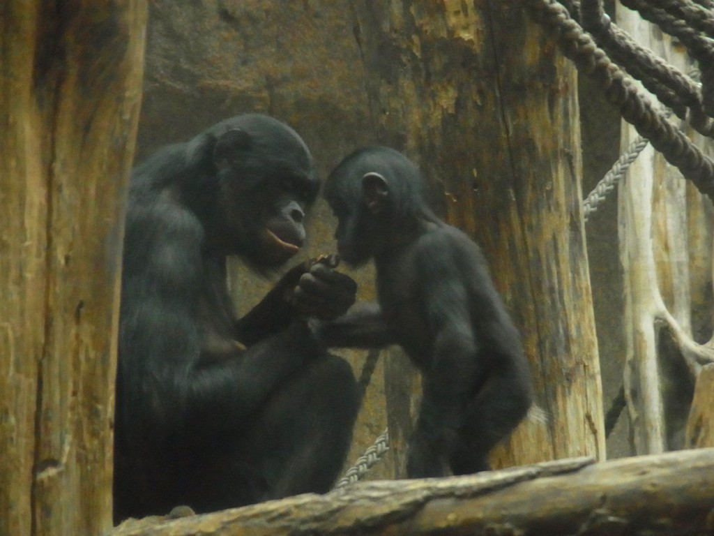 Bonobos im Zoo - Bild Ulrike Draesner #7terSprung