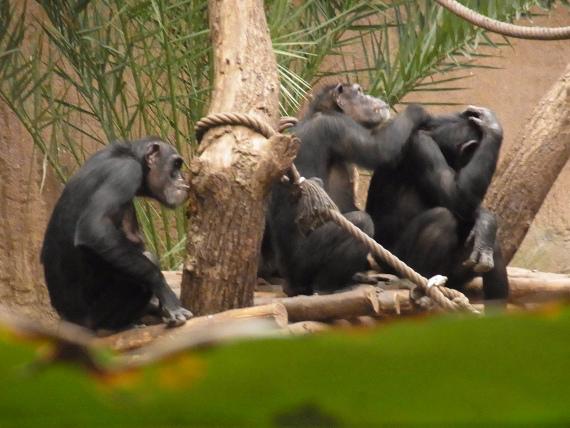 Schimpansen #7terSprung