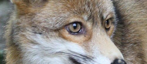 Wolf und Fuchs (1)