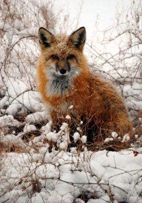 Wolf und Fuchs (5)