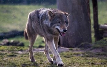 Wolf und Fuchs (2)
