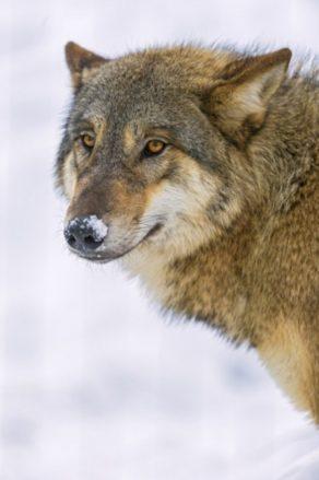 Wolf und Fuchs (3)